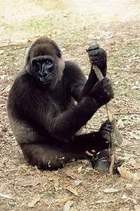 Cross River Gorilla Photograph by Tony Camacho