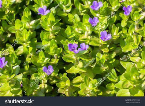 purple bacopa purple giant bacopa flowers stock photo 274255328