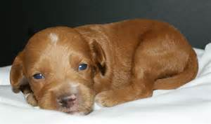 small non shedding mixed breed puppies for sale or rescue