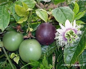 Black Passionfruit - Passiflora Edulis Evergreen Growers