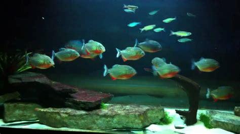 Piranha tank includes cichlids and giant danios - YouTube