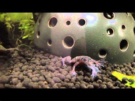 frog shedding ヒメツメガエルの脱皮