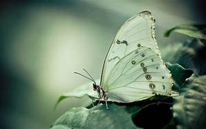 Cabbage white butterfly / 1680 x 1050 / Macro ...