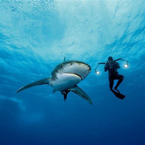 tiburones oceanicos los duenos de los mares