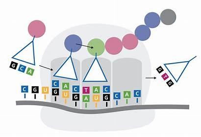 Codon Optimization Gene Synthesis Genewiz Services Bias