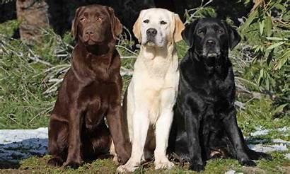 Labrador Retriever Dog Breed Golden Retrievers Names