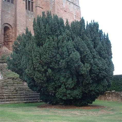 pictures of yew trees english yew taxus baccata