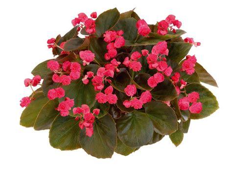 fiori begonie begonie tuberose piante da interno begonie tuberose