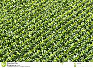 Aerial View Of Corn Field Or Cornfield Stock Photo - Image ...