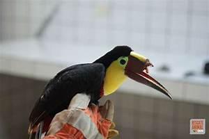 After a cruel attack, an injured toucan will get its beak ...