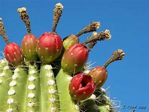Saguaro Fruit - Entheology.com