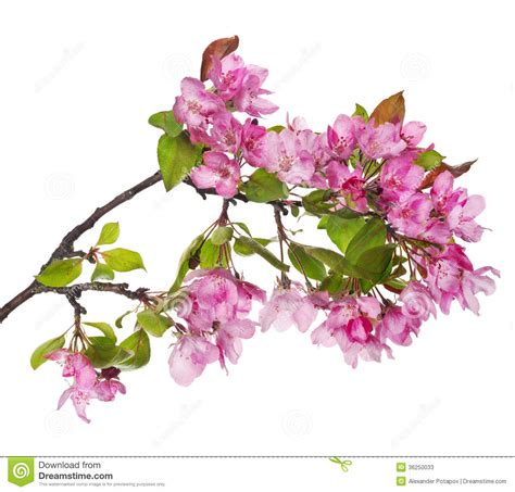 Larhe Pink Apple tree Blossoming Branch Stock Image