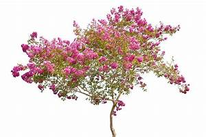 Rosa Blühender Baum Im Frühling : rosa bl hender baum getrennt auf wei stockbild bild von ~ Lizthompson.info Haus und Dekorationen
