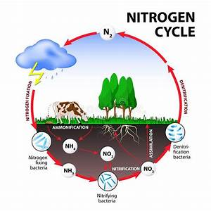 Nitrogen Cycle  The Processes Of The Transform Nitrogen