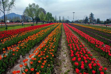 see asia s largest tulip see asia s largest tulip garden in full bloom time com