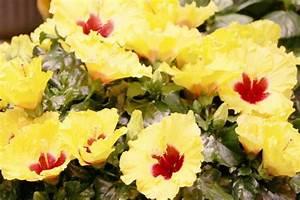 Wann Schneidet Man Hibiskus : wann hibiskus schneiden hibiskus schneiden mein sch ner ~ Lizthompson.info Haus und Dekorationen