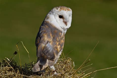 barn owl wallpapers backgrounds