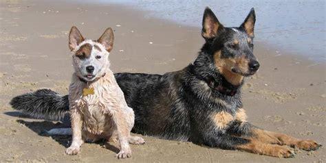 australian cattle dog  research lab
