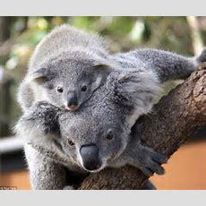 Symbio Wildlife Park Rear Cute Koala Joey In Sydney  Daily Mail Online