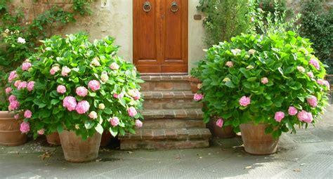 planter les hortensias promesse de fleurs