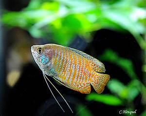 Poisson Aquarium Eau Chaude : les poissons d 39 eau chaude coll ge gilles de gouberville ~ Mglfilm.com Idées de Décoration