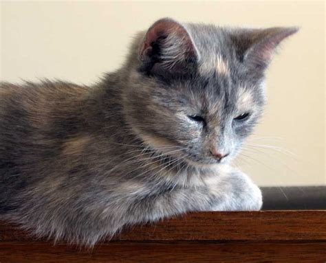 1000 Images About Blue Cream Diluted Tortoiseshell Or