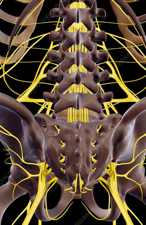 The nerves of the lower back - Stock Image - F001/9147 ...