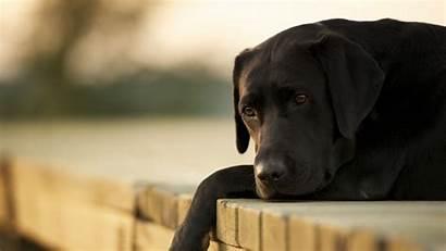 4k Dog Labrador Animals Wallpapers