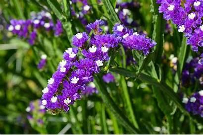 Statice Flower Flowers Limonium Plant Growing Seeds