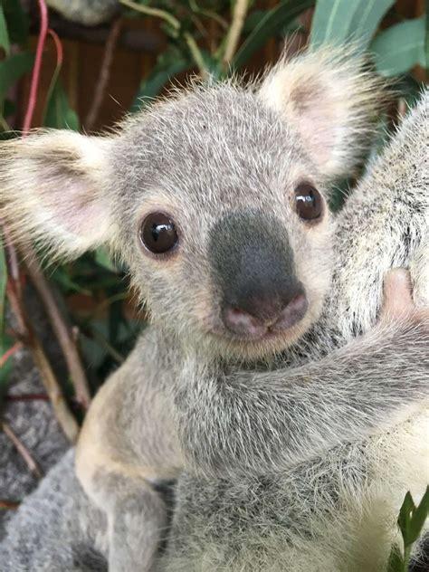 australias cutest koala joey crowned corporate tourism australia