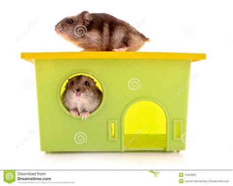 Zwei Junge Hamster Mit Dem Haus Getrennt Stockbild Bild