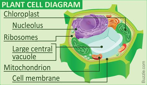 Labeled Diagram The Plant Cell Functions Its