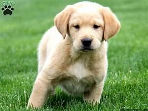 Golden Retriever Lab Mix Puppies | www.imgkid.com - The ...