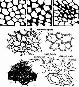 Arenchyma Tissues Diagram