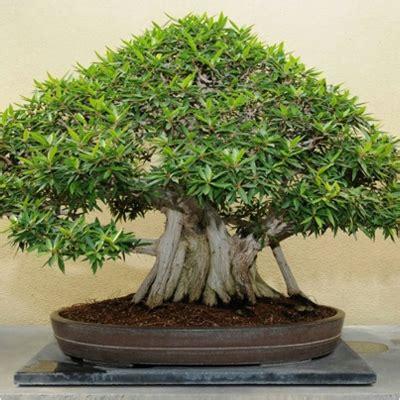 buy banyan tree bonsai plant   nursery