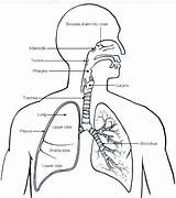 Coloring Respiratory System Sheet Human Anatomy Lung Lungs Pag Incredible Amazing Physiology sketch template