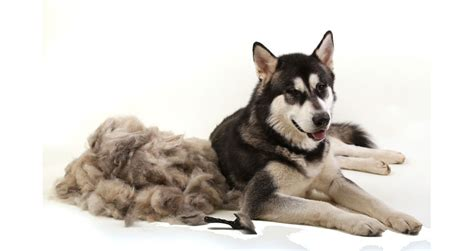 what season do dogs shed the most is the season of shedding here s how to handle it