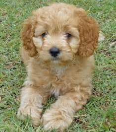 havanese poodle mix light brown cute puppies pinterest