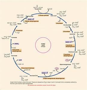 2  Krebs Cycle Or Citric Acid Cycle Or Tricarboxylic Acid