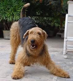 non shedding dogs a list of small mid sized and large dogs that don t shed airedale terrier