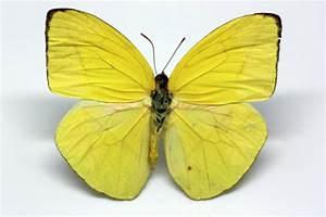 Pieridae - Phoebis trite (Linneo, 1758) Darwin Ciencias