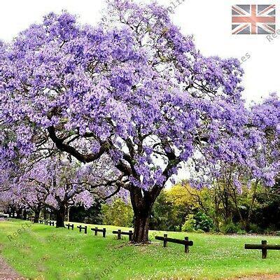rare paulownia tomentosa empress tree foxglove tree