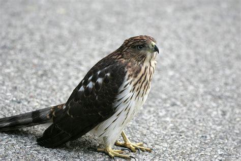 ohio bird photo collection juvenile cooper s hawk