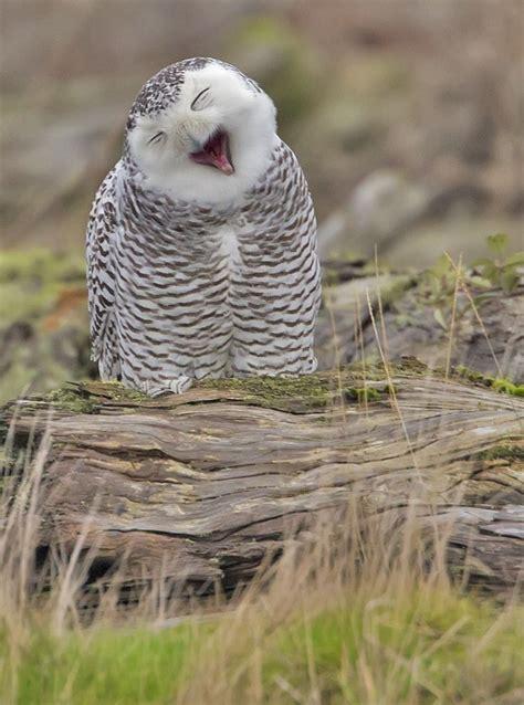owl yawn  day  snowy owls  washington thur