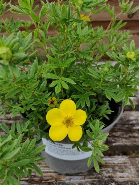 Potentilla fruticosa 'Goldfinger' - 2 Litre pot - Cherry ...