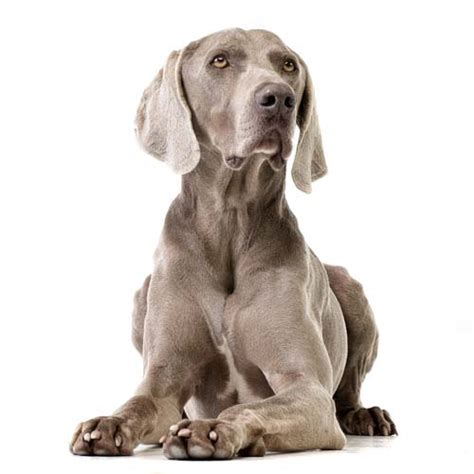 dogs that dont shed weimaraner 25 most travel friendly breeds to take with you anywhere