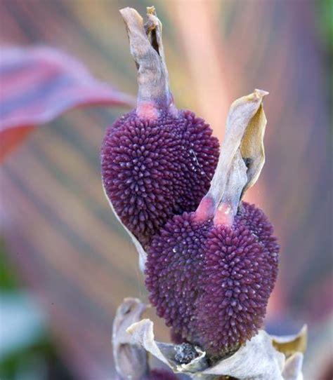 Indisches Blumenrohr Vermehren by Indisches Blumenrohr Pflanzen Pflegen Und Vermehren