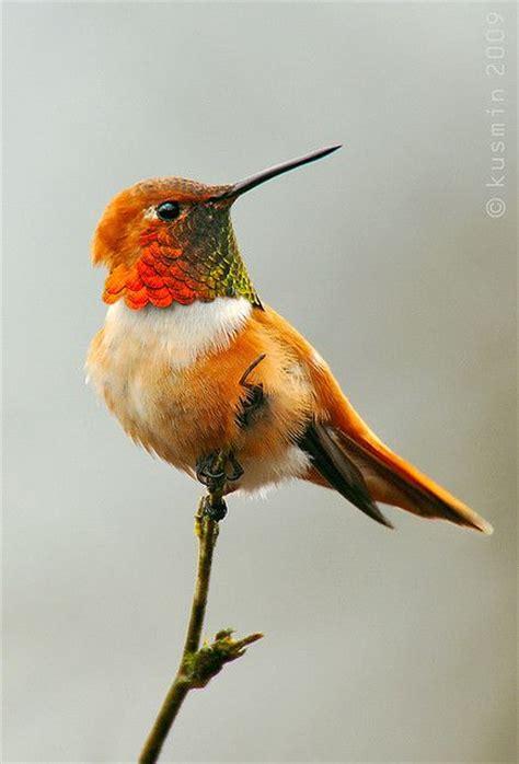 rufous hummingbird fabulous photos pinterest
