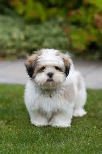 lhasa apso photo and wallpaper beautiful lhasa apso pictures