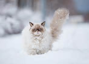 snow cats 15 animals in snow for the time bored panda